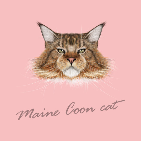 maine cat: Vector Illustrated Portrait of Maine Coon cat. Cute fluffy face of domestic cat on pink background.
