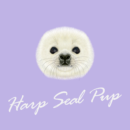 pup: Vector Illustrated Portrait of Harp Seal Pup. Cute fluffy face of Harp Seal baby on violet background. Illustration