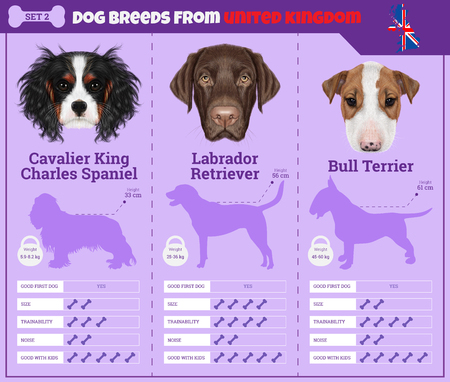 Dogs breed vector infographics types of dog breeds from United Kingdom. Breed Set 2 - Cavalier King Charles Spaniel, Labrador Retriever, Bull Terrier