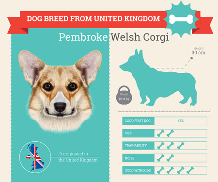 pembroke: Pembroke Welsh Corgi Dog breed vector infographics. This dog breed from United Kingdom Illustration
