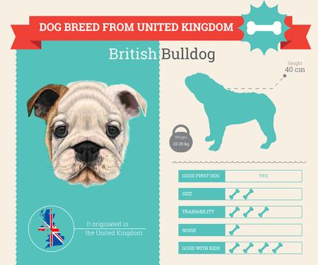british bulldog: British bulldog breed vector infographics. This dog breed from United Kingdom