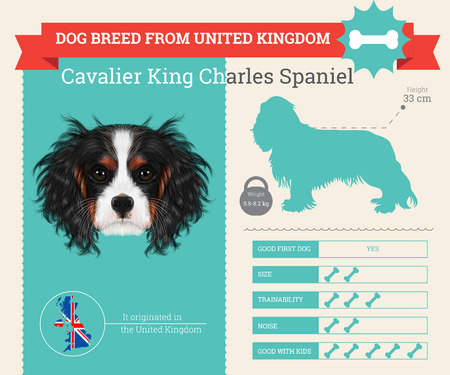 charles: Cavalier King Charles Spaniel Dog breed vector infographics. This dog breed from United Kingdom Illustration