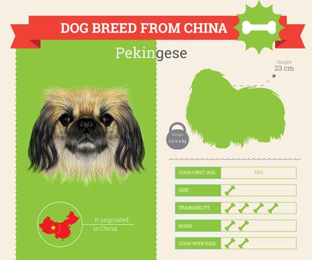 pekingese: Pekingese Dog breed vector infographics. This dog breed from China
