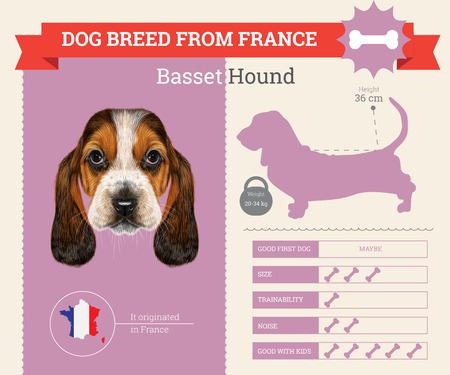 basset hound: Basset Hound Dog breed vector infographics. This dog breed from France Illustration