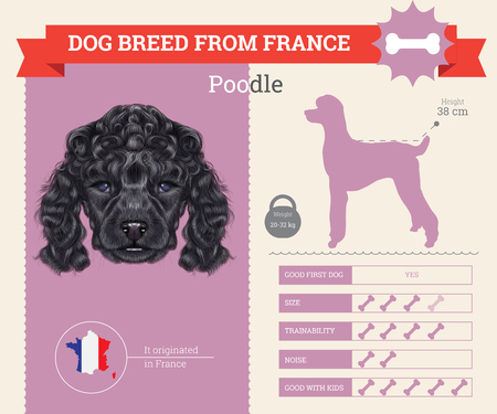 breed: Poodle Dog breed vector infographics. This dog breed from France Illustration
