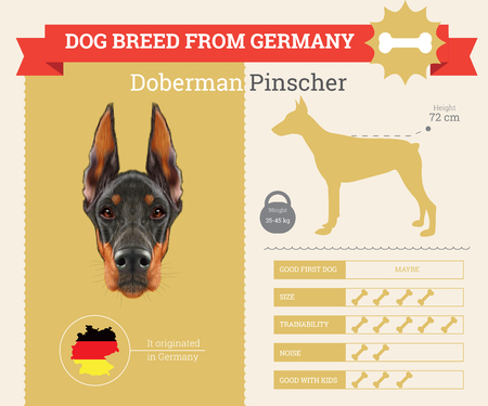 pinscher: Doberman Pinscher Dog breed vector infographics. This dog breed from Germany Illustration