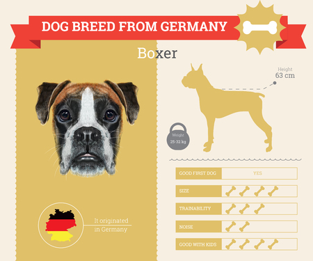 breed: Boxer Dog breed vector infographics. This dog breed from Germany