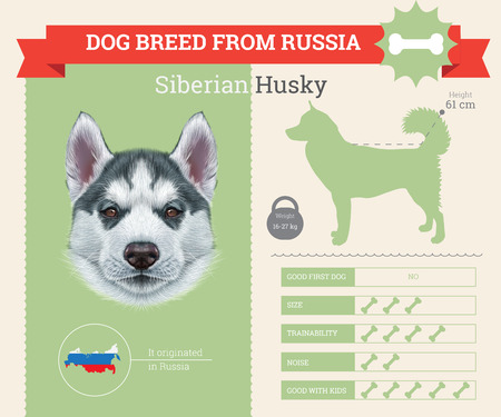 breed: Siberian Husky Dog breed vector infographics. This dog breed from Russia