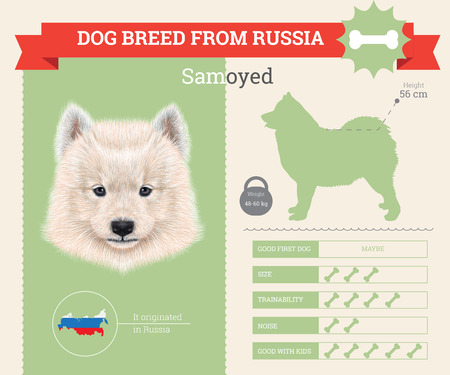 samoyed: Samoyed Dog breed vector infographics. This dog breed from Russia Illustration