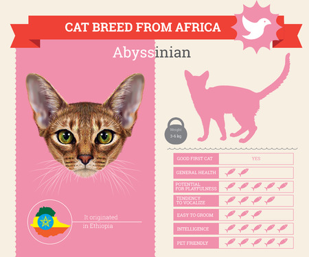Abyssinian Cat breed vector infographics. This cat breed from Africa Illustration