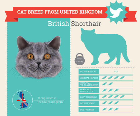 breed: British Shorthair Cat breed vector infographics. This cat breed from United Kingdom