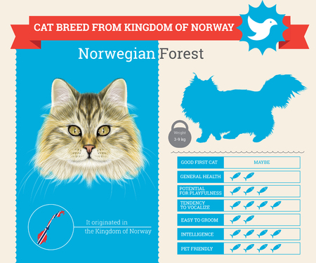 Norwegian Forest Cat breed vector infographics. This cat breed from Norway Vettoriali