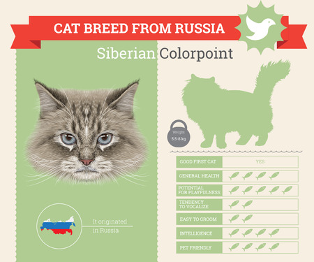 Siberian Colorpoint Cat breed vector infographics. This cat breed from Russia 일러스트