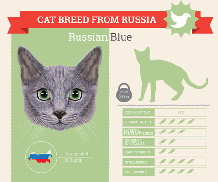 russian blue: Russian Blue Cat breed vector infographics. This cat breed from Russia Illustration