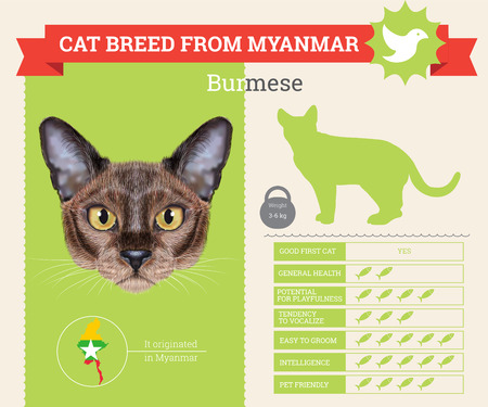 burmese: Burmese Cat breed vector infographics. This cat breed from Myanmar
