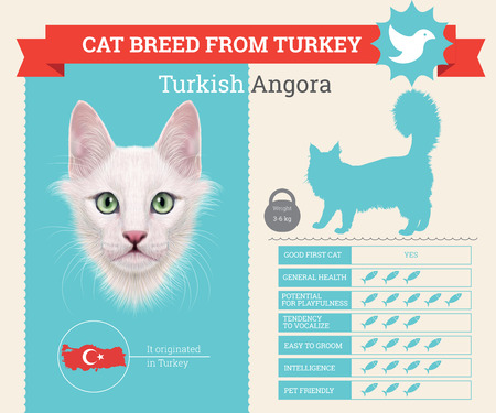 breed: Turkish Angora Cat breed vector infographics. This cat breed from Turkey Illustration