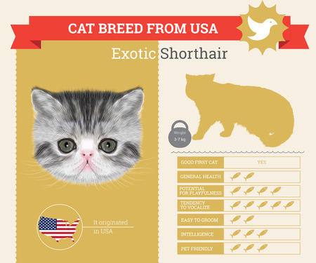 breed: Exotic Cat breed vector infographics. This cat breed from USA