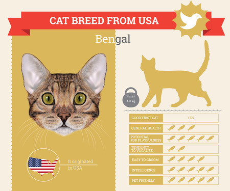 breed: Bengal Cat breed vector infographics. This cat breed from USA