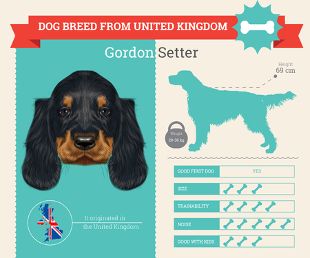 setter: Gordon Setter dog breed vector infographics. This dog breed from United Kingdom Illustration