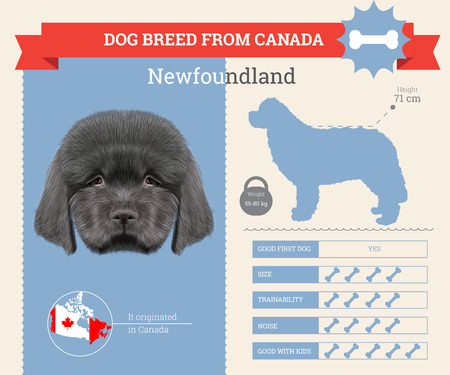 newfoundland: Newfoundland dog breed vector infographics. This dog breed from Canada