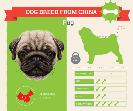 pug dog: Pug dog breed vector infographics. This dog breed from China