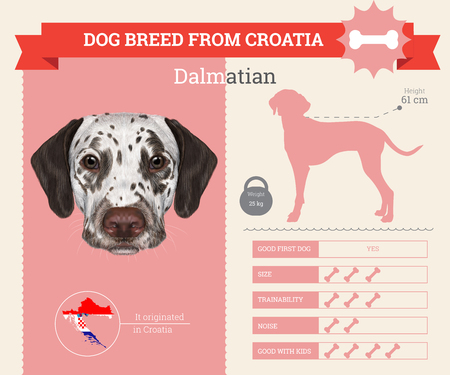 breed: Dalmatian dog breed vector infographics. This dog breed from Croatia