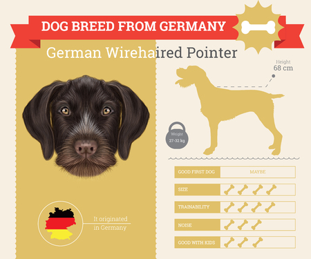 pointer dog: German Wirehaired Pointer dog breed vector infographics. This dog breed from German Illustration
