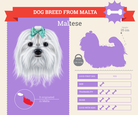 Maltese dog breed vector infographics. This dog breed from Malta