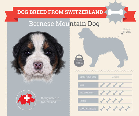 bernese: Bernese Mountain dog breed vector infographics. This dog breed from Switzerland