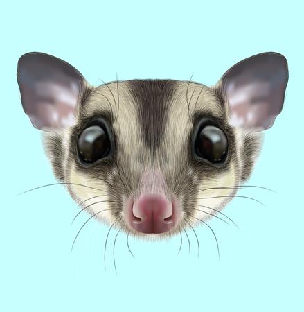 possum: Illustrated portrait of Sugar glider. Cute head of wild Australian mammal on blue background.