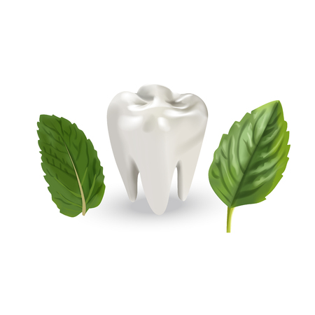 Human tooth with leaves. Vector illustration of realistic chewing tooth and mint leaves on white background. Illustration