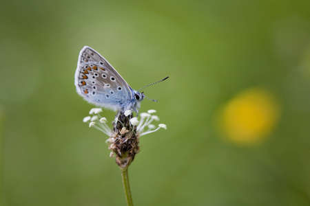 A Common Blue (Polyommatus icarus ) Butterfly with its wings closed sitting on a plant in a meadow in Somerset, UK. photo