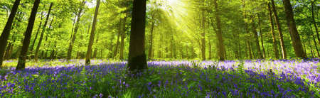 Panoramic view inside a bluebell wood with light streaming through the trees  photo