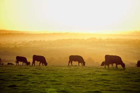 Backlit cattle grazing in a field at sunset  Stock Photo