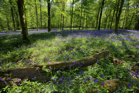 Inside a beautiful bluebell wood, Dorset, England  Focus on log and flowers in the foreground  photo