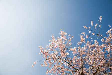 Pink blossom on cherry tree against bright clear sky, England, UK