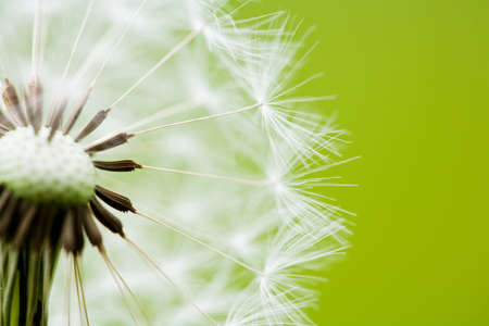 flower close up: Close-up of a clock dandelion against a clean green background