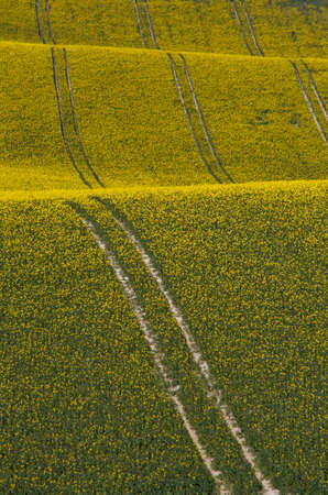oilseed: Wavy tracks in an oilseed rape field