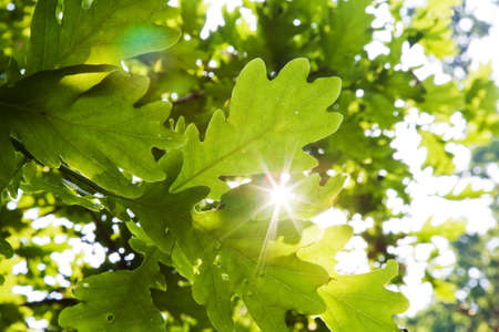 tree canopy: bright sunlight flaring through the leaves of an oak tree Stock Photo