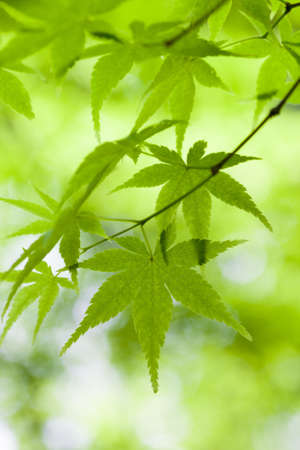 japanese maple: Close-up of bright green leaves with narrow depth of field. Stock Photo