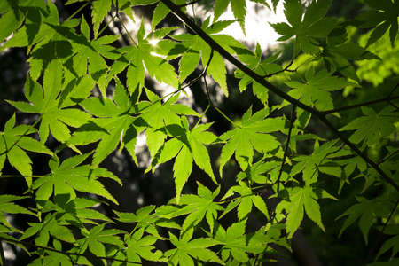 japanese maple: Green leaves on a Japanese maple tree.