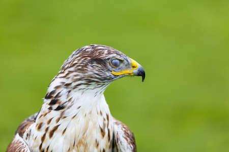 ferruginous: A Ferruginous Hawk blinks it s Third Eyelid