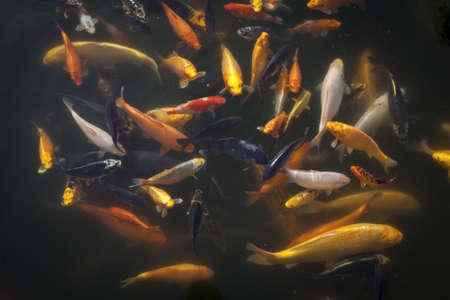 koi pond: Multi-coloured Koi Carp feeding from the surface of a pond