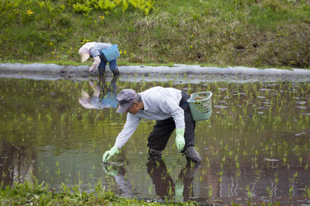 mechanized: People planting rice seedlings in a flooded paddy field near Lake Aoki, Hakuba on 17th May 2012  It is unusual to see rice planted by hand in Japan as it is mostly mechanized