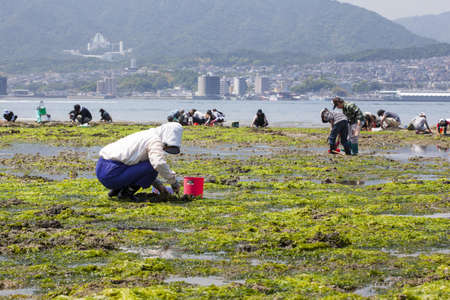 popularly: Miyajima, Japan - May 5, 2012  People digging for shellfish at low tide on the shoreline of Itsukushima island - popularly known as Miyajima, the collected shellfish are often used in Miso soup