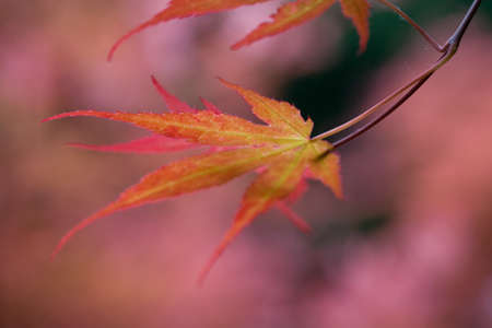 acer: Red Acer leaves, close up with shallow depth of field Stock Photo