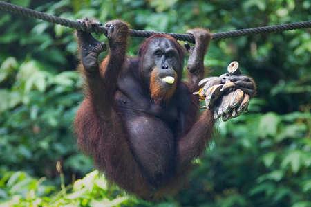 munching: Orangutang in Sepilok nature reserve in Sabah, Malaysian Borneo munching a bunch of bananas Stock Photo