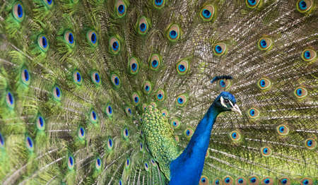 pavo: Close-up of Peacock displaying its wings