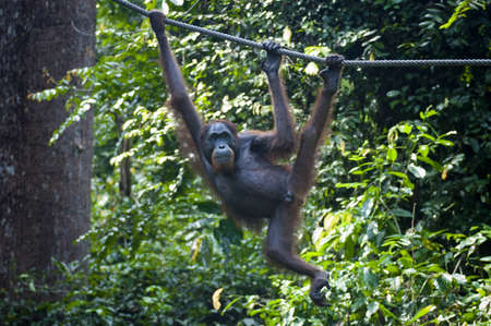 hang up: Orangutan hanging from a rope with lush jungle behind at the Sepilok Sanctuary in Malaysia Stock Photo