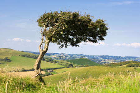 Single tree on top of a windswept hill, surrounded by lush Dorset countryside, England, UK.